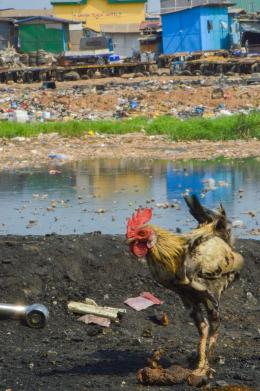 A rooster foraging in the open around Agbogbloshie. Martin Holzknecht, Arnika
